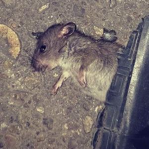 此老鼠生命已经到了尽头