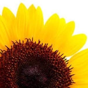 小花向太阳