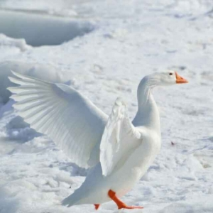 一只雪孤雁