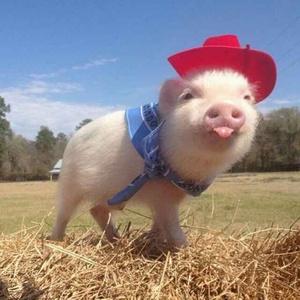 披着羊皮de猪