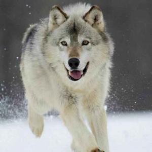 西伯利亚狼!