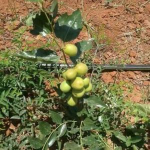 徐景娜---台湾高端水果种苗销售
