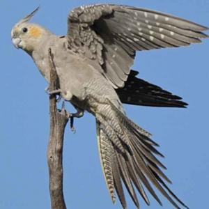 重建(毛︶^︶得)鹦鹉