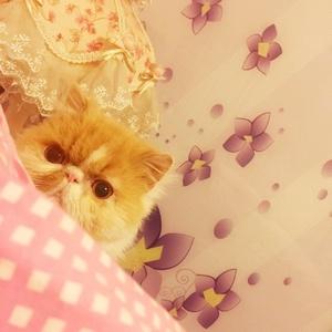 多肉萝莉猫
