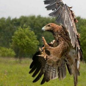 森林里的雄鹰